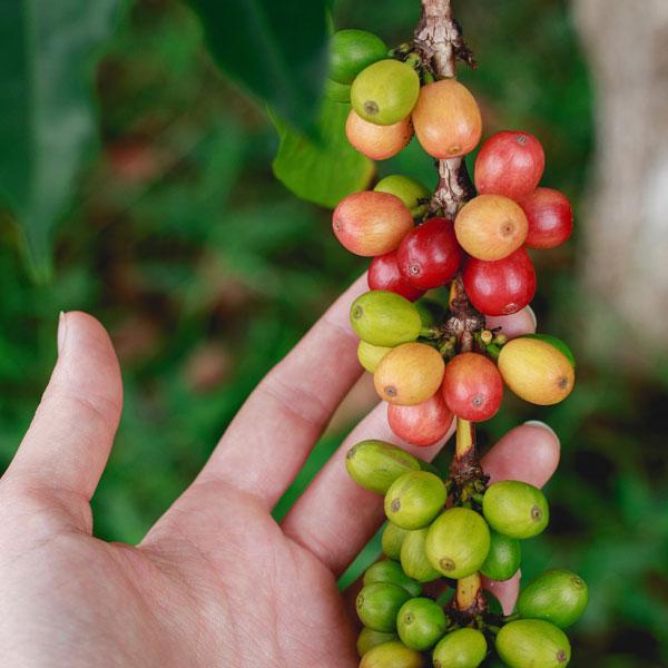 Kávé cseresznye