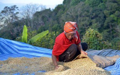 A thaiföldi kávé, azaz a thai kávé története és jelene